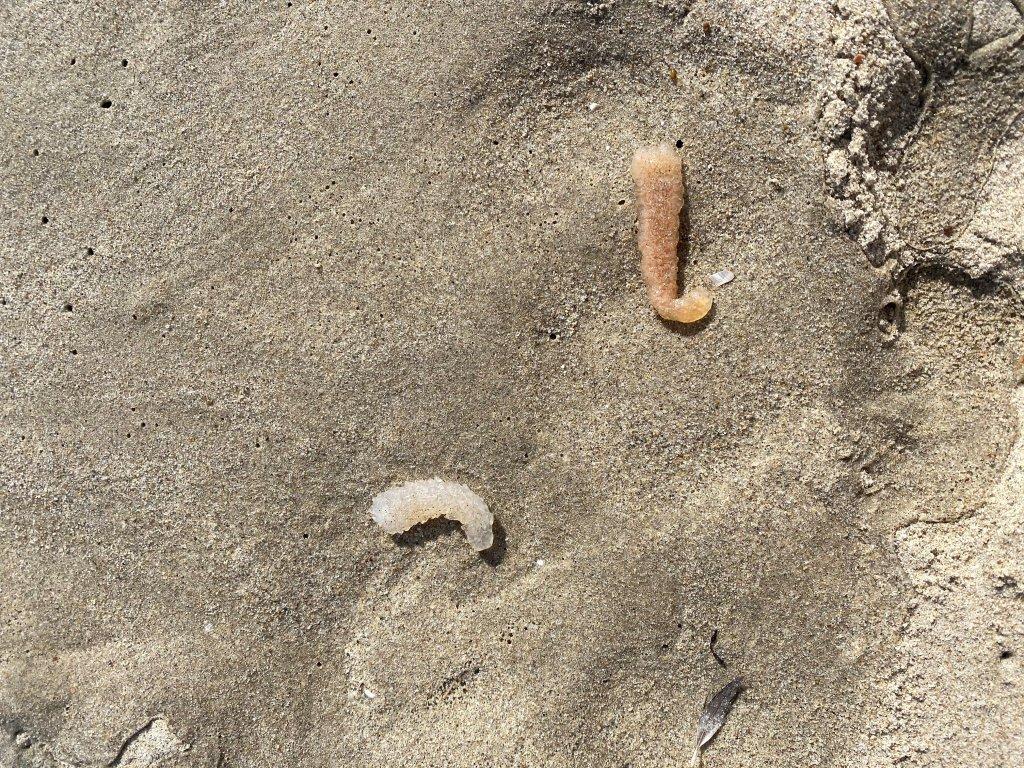 Two pyrosomes lie on a Santa Monica beach.
