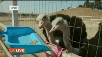 See the Largest Bird in the World at the Gilroy Ostrich Farm