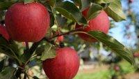 Oak Glen's Apple Season Has Aromatically Arrived