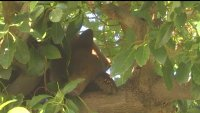 Bear Camps Out in Avocado Tree, Snacking and Hanging Out