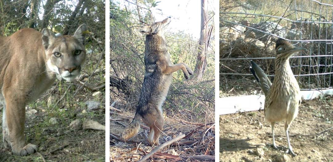 Mountain lions, coyotes and different species of birds are some of the animals caught on remote cameras in the Los Angeles urban wilderness.