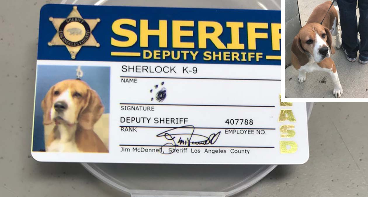 Sherlock the dog (inset) is pictured with his Los Angeles County Sheriff's Department badge and ID card.