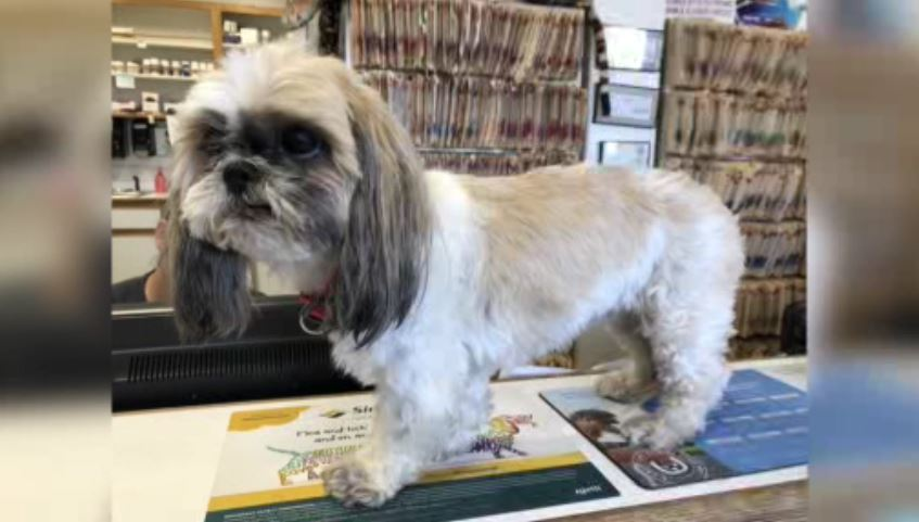 Shawnee the Shih Tzu was missing for nearly four years before she crossed paths with a dog walker who wasn't about to leave her alone on Christmas Eve.