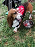 Adorable Basset Hounds Ready for Rescue
