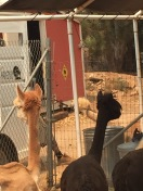 Alpacas Rescued From Sand Fire 7/26/16