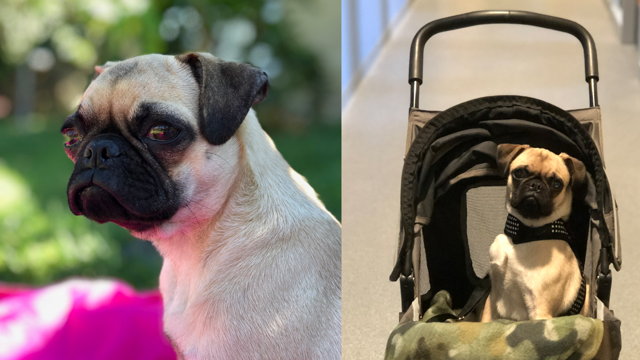 Mila is an 18-month-old pug who was found abandoned and severely injured in Orange County on Tuesday, Sept. 11, 2018.