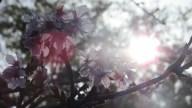 CherryBlossoms2018SanDiego_2