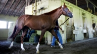 Belmont California Chrome Horse \Racing