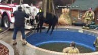 Firefighters Rescue Cow Stuck in Swimming Pool