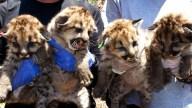 mtn-lion-kittens-090418