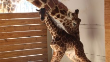 April Is Back! World-Famous NY Giraffe Cam Returns This Week
