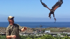 Resort Uses Falconry to Combat Seagulls