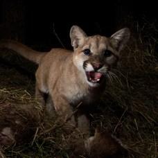 Mountain Lions Face Extinction in Santa Ana, Santa Monica Mountains