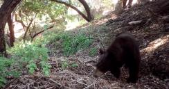 Black Bear Spotted in Malibu Near Santa Monica Mountains