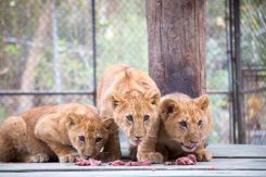 Trio of Lion Cubs Make Their Debut at Wildlife Waystation