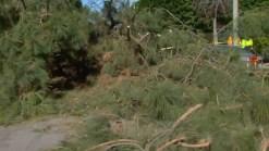 Woman Walking to Store Pinned by Fallen Pine Tree