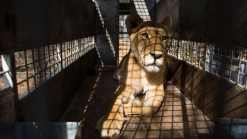 33 Former Circus Lions Arrive at South African Sanctuary