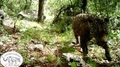 Last Known Wild Jaguar in U.S. Shown on Video