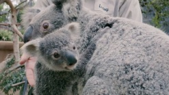 Baby Koala Emerges After 6 Months in Mom's Pouch