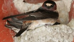San Juan Capistrano Courts Cliff Swallows