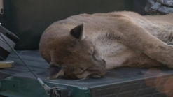 VIDEO: Sedated Mountain Lion Hauled From Mall