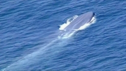 Group Tries to Rescue Blue Whale Tangled in Fishing Line