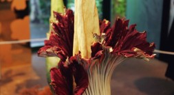 Corpse Flower: Oh, It's On