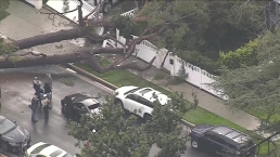 Tree Crashes Down in Studio City During Rain