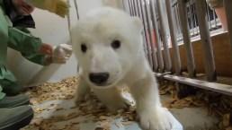 Adorable Polar Bear Cub Gets Checkup at Berlin Zoo