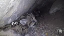 Watch: Four Mountain Lion Kittens Found in SoCal Den