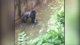 Gorilla Shot After Handling Boy Who Fell Into Zoo Enclosure