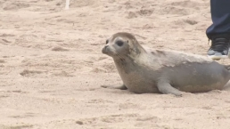 Patriots Lineman Helps to Release Baby Sea Lion
