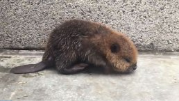 Baby Beaver Gets Lost at DC Metro Station