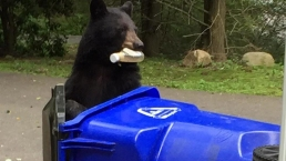 Bears in Residential Areas? Tips on How to Stay Safe