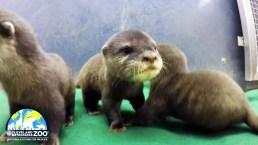 Take a Cute Break: Adorable Otter Pups Born