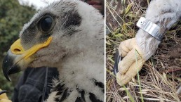 Pictures: Rare Golden Eagle Chicks Discovered in SoCal