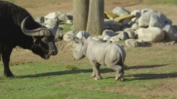 Watch New Baby Rhino Play With Buffalo at San Diego Zoo