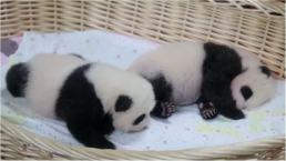 Twin Pandas Make Adorable Debut in Shanghai