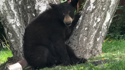Yucaipa Residents Spot Bear Hanging In Tree