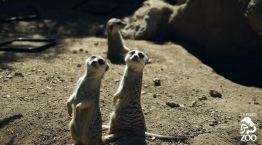New Meerkats Arrive at LA Zoo