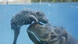 Baby Hippo Born at San Diego Zoo