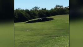 Massive Gator Dubbed 'Chubbs' Spotted Again at Fla. Golf Course