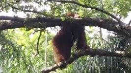 Orangutan Escapes Enclosure at Florida Park
