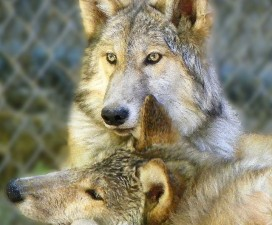 Birthday Party for the Moonridge Wolf Pups