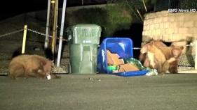 Caught on Video: Three Bears in Monrovia