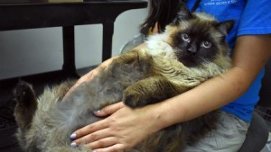 Chubbs, the Wandering 29-Pound Viral Cat Sensation, Gets Adopted