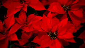 Take Pics Among Thousands of Poinsettias at Cal Poly