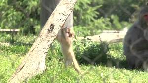 Baby Snow Monkey Makes Debut at Sioux Fall Zoo