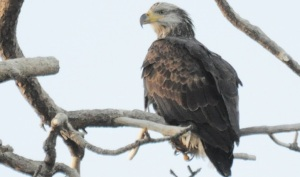 Bald Eagle Count: Look Up and Help Out