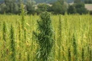 US Hemp Market Set to Boom With Federal Legalization of Hemp